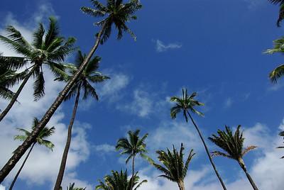 Downtown Honolulu palm trees.