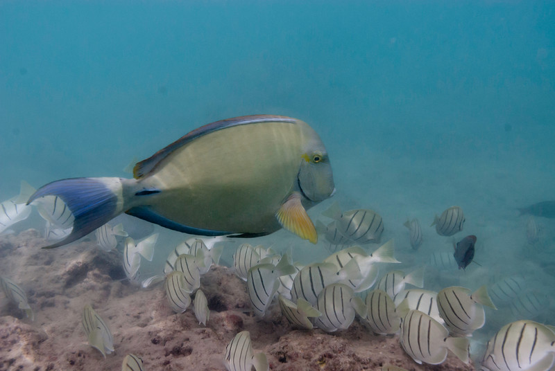 Yellowfin Surgeonfish and Convict Tangs