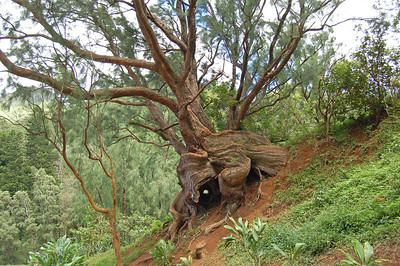 Tree Art at Pali