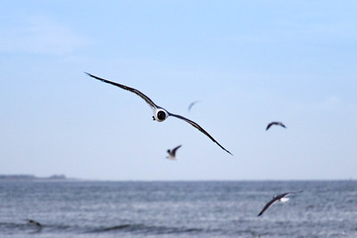 Seagulls at Caswell Beach (28 May 2016)