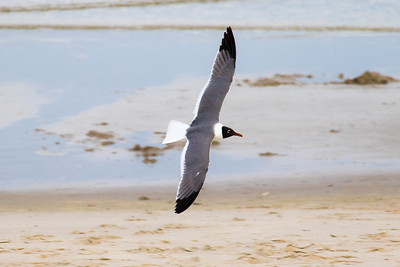 Seagull at Caswell Beach (28 May 2016)