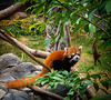 This is the other kind of Panda -- a Red Panda. Like the big black and white Panda, they also love bamboo shoots, but they are much cuter, and take longer to tear you to shreds.