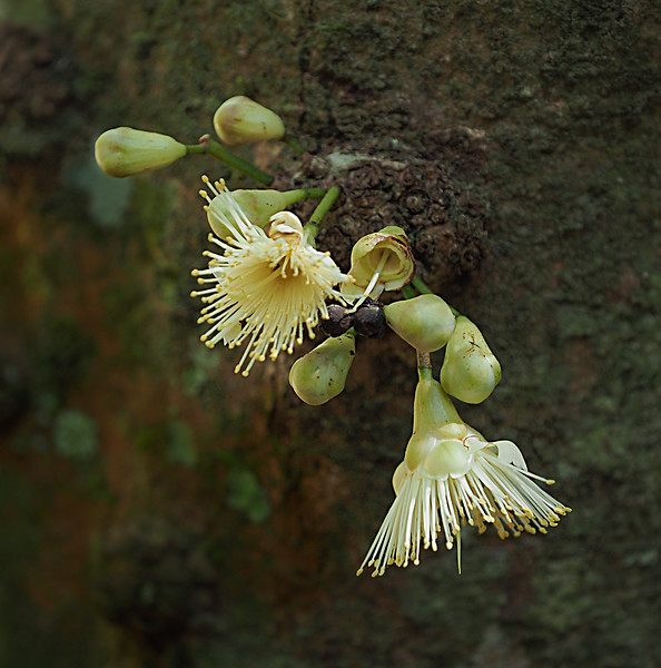 Bumpy Satinash Flower