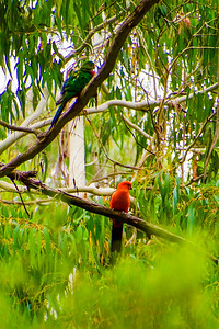 Spectacular King Parrots