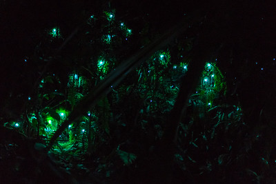 Glowworm Dell