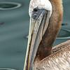 Pelican, Monterey