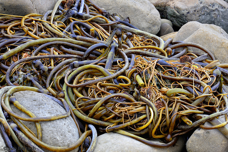 Entangled Seaweed, Salt Point, CA