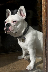 """The French Bulldog has no time for """"Les Gee Bees""""."""