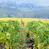 The chardonnay grape harvest was completed several weeks ago but the yellow and gold vines made for stunning views.