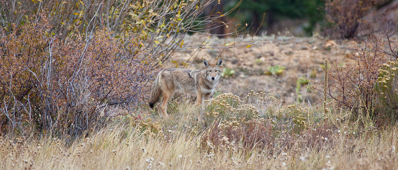 A coyote looks into the distance looking for prey. Estes Park, Colorado