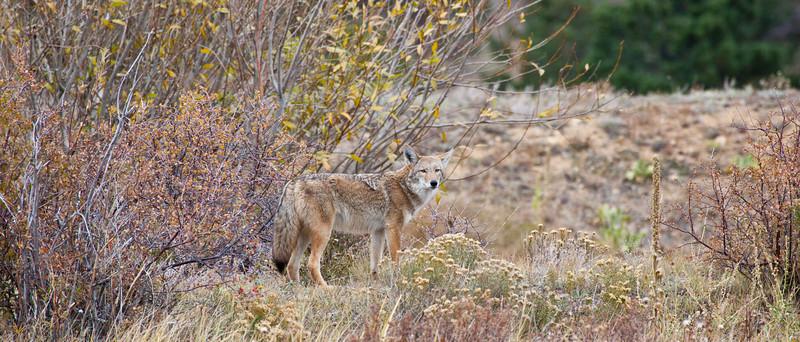 A coyote looks into the distance looking for prey. Estes Park, Colorado