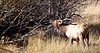 A large Male Elk bugles for his mates during the fall rutting season. Estes Park, Colorado.