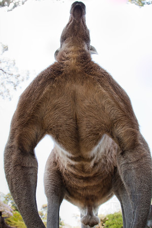 A slightly different if not unflattering angle of a Kangaroo. Queensland, Austrailia