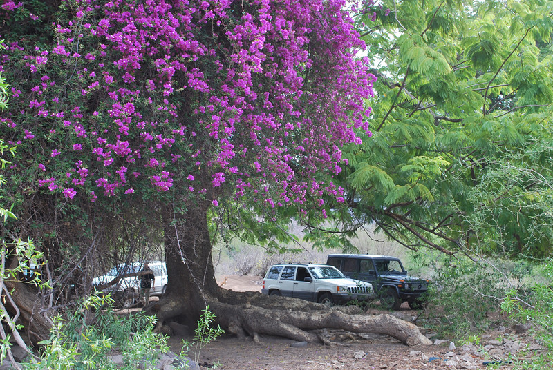 the world's largest bougainvillea - and the roots of that guanacaste tree make the cars look small