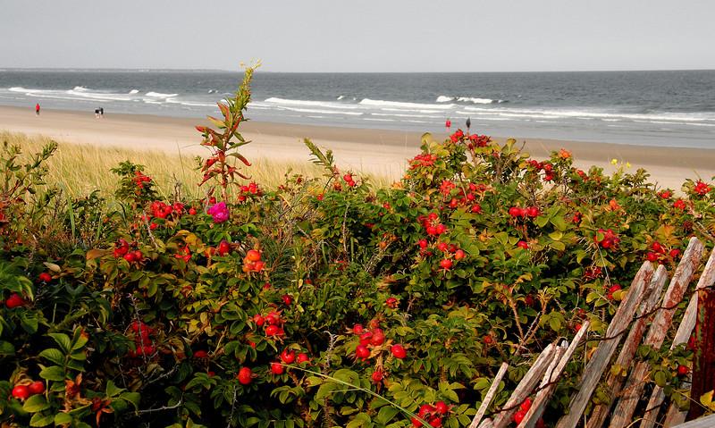 ogunquit, rose hips on dunes