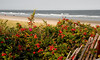 ogunquit, rose hips on dunes
