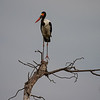 Saddle-billed stork, Okavango Delta, Botswana.