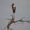 Saddle-billed stork, Okavango Delta, Botswana.