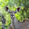 Female kudu, Okavango Delta, Botswana.