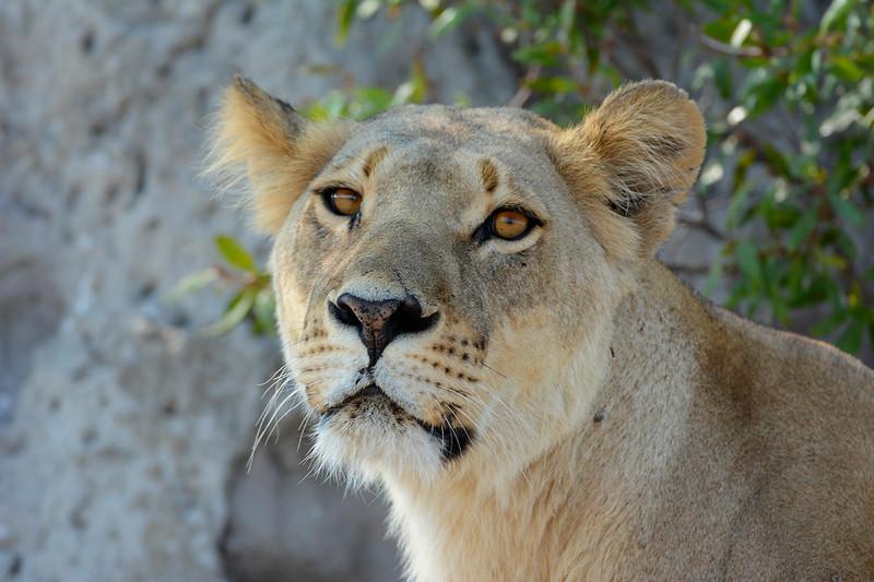 Lioness watching a herd of Lechwe, Okavango Delta, Botswana.