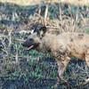 Wild dog, Okavango Delta, Botswana.