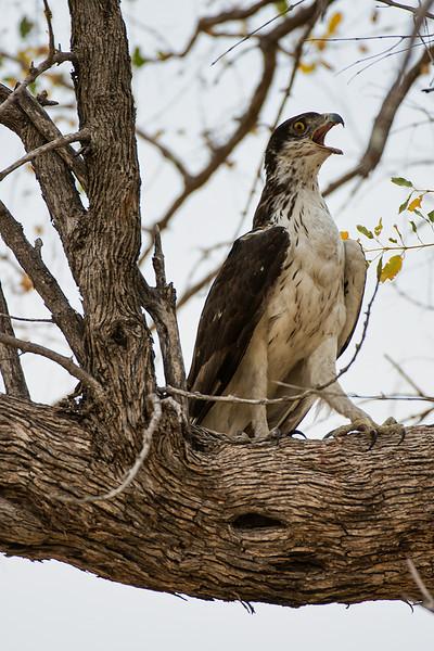 Booted eagle, Okavango Delta, Botswana.