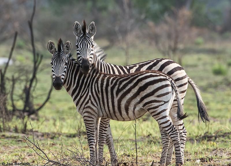 Pair of zebras, Okavango Delta, Botswana.