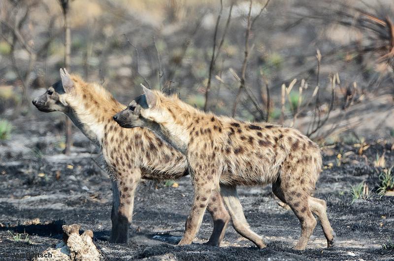 Pair of Hyenas