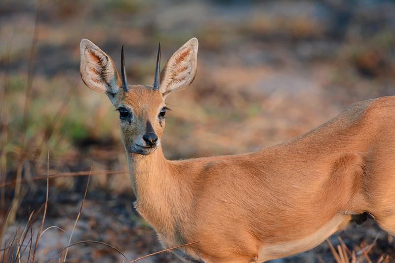 Steenbok on alert, Okavango Delta, Botswana.
