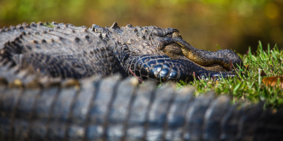 Sleeping alligator on the outskirts of Okefenokee swamp