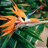 Bird of Paradise - Downtown Myriad Butterfly Gardens - Oklahoma City - Nov. 2001