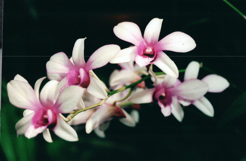 White and Pink Orchids - Downtown Myriad Butterfly Gardens - Oklahoma City - Nov. 2001