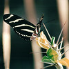 Zebra Butterfly - Downtown Myriad Butterfly Gardens - Oklahoma City - Nov. 2001