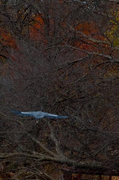 Blue Heron (Oklahoma City)