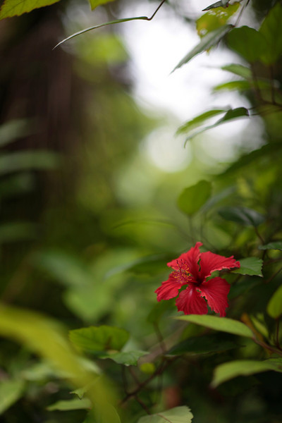 A pretty little hibiscus.  There are many varieties of hibiscus in Puerto Rico.