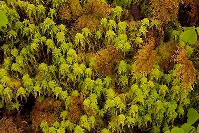 Mosses - Quinault Rain Forest