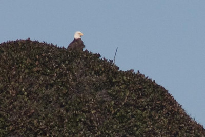Bald eagle on sea stack (extreme crop)
