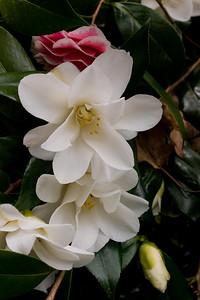 Unusual camellia, capitol grounds, Olympia, WA