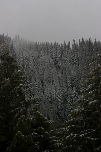 Snow on trees above Quinault Lake