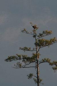 A bald eagle while at Vereen Gardens.