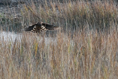 In Little River area. The hawk was very interested in something in the swamp grass.