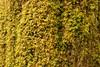 Club moss on a redwood bark