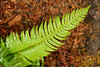 A wet fern stands aloof against the natural red wood chips on the forest floor