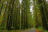 The Road to Hoh Rainforest is dwarfed by the giants on either side.