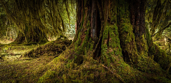Old Growth Forest in Olympic National Park