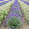 Purple Haze Lavender Farm, Sequim, WA