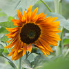 Orange Sunflower, Purple Haze Lavender Farm, Sequim, WA