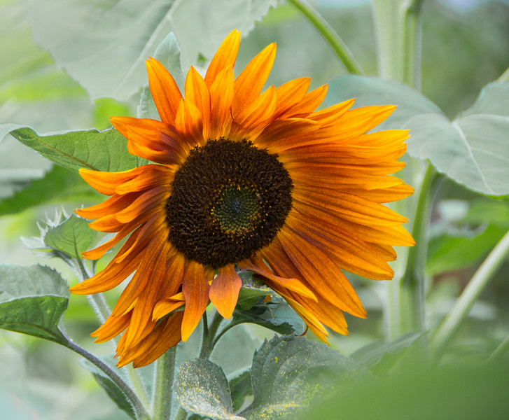Orange Sunflower, Purple Haze Lavender Farm, Sequim, WA