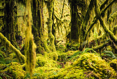Dense Moss in Olympic National Park
