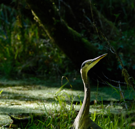 Great Blue Heron in Hoh Rain Forest